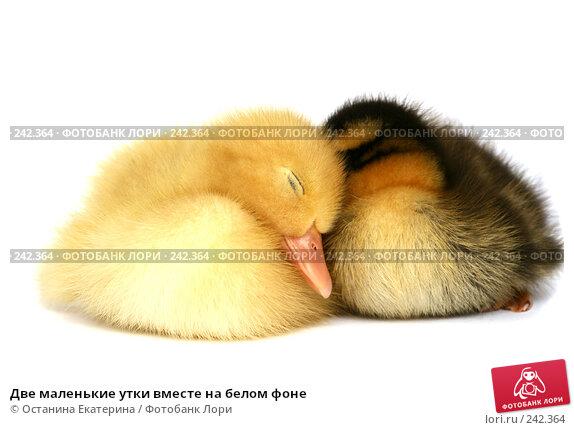 Две маленькие утки вместе на белом фоне, фото № 242364, снято 24 мая 2007 г. (c) Останина Екатерина / Фотобанк Лори