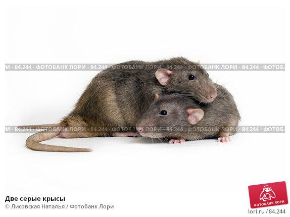 Две серые крысы, фото № 84244, снято 15 сентября 2007 г. (c) Лисовская Наталья / Фотобанк Лори