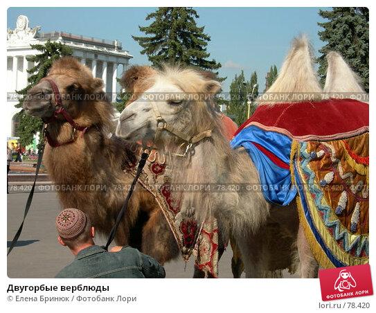 Купить «Двугорбые верблюды», фото № 78420, снято 7 сентября 2005 г. (c) Елена Бринюк / Фотобанк Лори