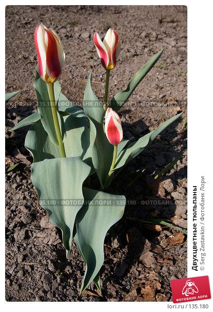 Двухцветные тюльпаны, фото № 135180, снято 22 мая 2006 г. (c) Serg Zastavkin / Фотобанк Лори
