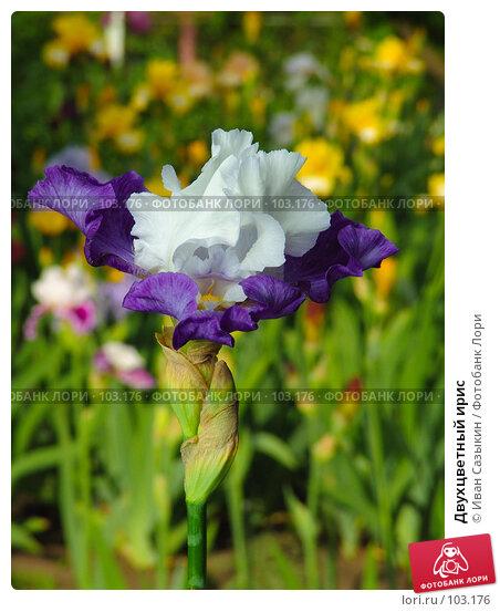 Купить «Двухцветный ирис», фото № 103176, снято 23 апреля 2018 г. (c) Иван Сазыкин / Фотобанк Лори
