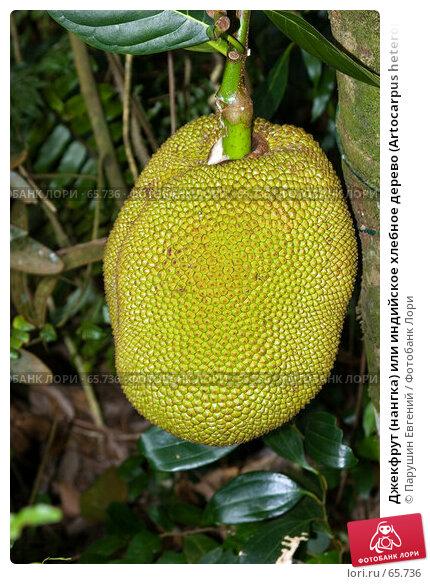 Джекфрут (нангка) или индийское хлебное дерево (Artocarpus heterophyllus), фото № 65736, снято 22 октября 2016 г. (c) Парушин Евгений / Фотобанк Лори