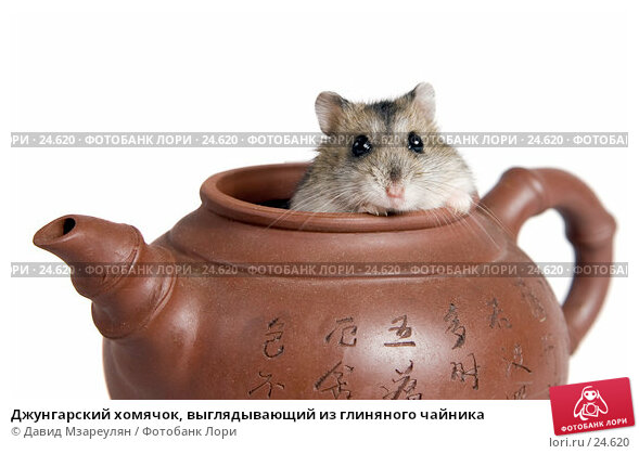 Джунгарский хомячок, выглядывающий из глиняного чайника, фото № 24620, снято 18 марта 2007 г. (c) Давид Мзареулян / Фотобанк Лори
