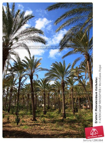 Египет.Финиковые пальмы., фото № 290064, снято 26 февраля 2008 г. (c) АЛЕКСАНДР МИХЕИЧЕВ / Фотобанк Лори