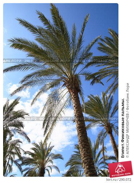 Египет.Финиковые пальмы., фото № 290072, снято 26 февраля 2008 г. (c) АЛЕКСАНДР МИХЕИЧЕВ / Фотобанк Лори