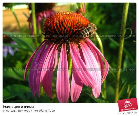 Купить «Эхинацея и пчела», фото № 85192, снято 12 августа 2007 г. (c) Наталья Волкова / Фотобанк Лори