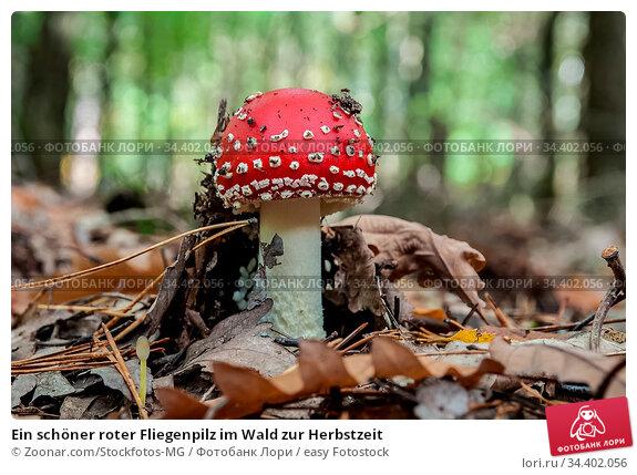 Ein schöner roter Fliegenpilz im Wald zur Herbstzeit. Стоковое фото, фотограф Zoonar.com/Stockfotos-MG / easy Fotostock / Фотобанк Лори