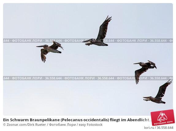 Ein Schwarm Braunpelikane (Pelecanus occidentalis) fliegt im Abendlicht... Стоковое фото, фотограф Zoonar.com/Dirk Rueter / easy Fotostock / Фотобанк Лори
