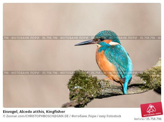 Eisvogel, Alcedo atthis, Kingfisher. Стоковое фото, фотограф Zoonar.com/CHRISTOPHBOSCH@GMX.DE / easy Fotostock / Фотобанк Лори