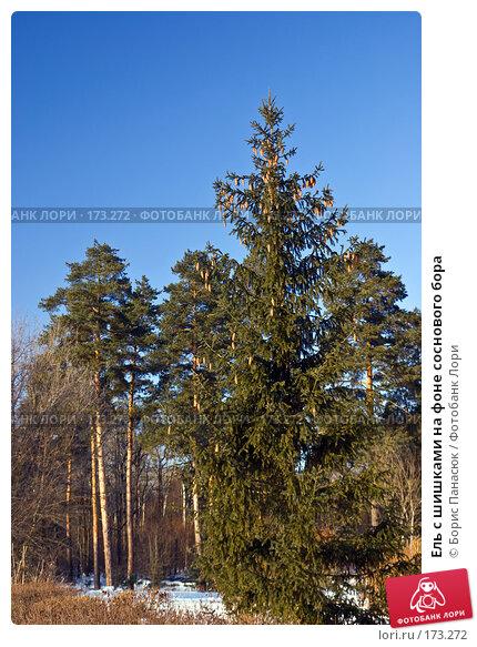 Купить «Ель с шишками на фоне соснового бора», фото № 173272, снято 2 января 2008 г. (c) Борис Панасюк / Фотобанк Лори