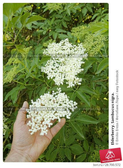 Купить «Elderberry. Sambucus nigra.», фото № 28700572, снято 17 мая 2018 г. (c) easy Fotostock / Фотобанк Лори