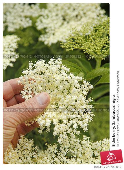 Купить «Elderberry. Sambucus nigra.», фото № 28700612, снято 20 мая 2018 г. (c) easy Fotostock / Фотобанк Лори