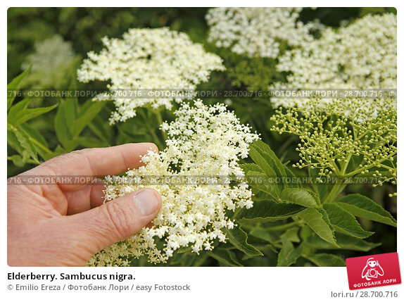 Купить «Elderberry. Sambucus nigra.», фото № 28700716, снято 20 мая 2018 г. (c) easy Fotostock / Фотобанк Лори