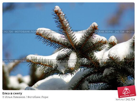 Купить «Елка в снегу», фото № 242724, снято 7 февраля 2006 г. (c) Илья Лиманов / Фотобанк Лори