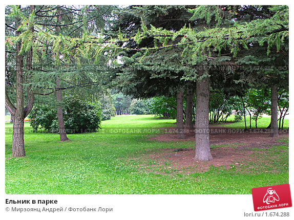 Купить «Ельник в парке», фото № 1674288, снято 10 августа 2008 г. (c) Мирзоянц Андрей / Фотобанк Лори