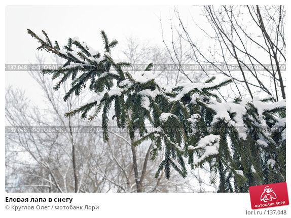 Еловая лапа в снегу, фото № 137048, снято 1 декабря 2007 г. (c) Круглов Олег / Фотобанк Лори