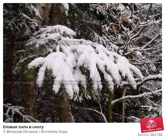 Еловая лапа в снегу, фото № 263192, снято 5 ноября 2007 г. (c) Вячеслав Потапов / Фотобанк Лори