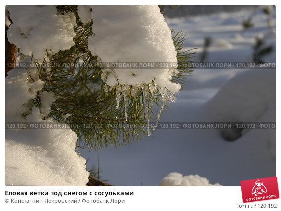 Еловая ветка под снегом с сосульками, фото № 120192, снято 19 ноября 2007 г. (c) Константин Покровский / Фотобанк Лори