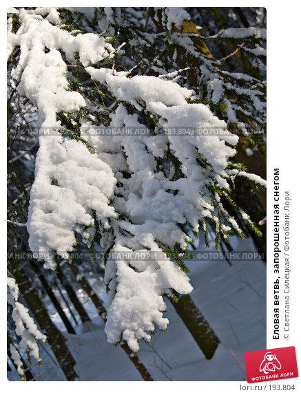 Купить «Еловая ветвь, запорошенная снегом», фото № 193804, снято 4 февраля 2008 г. (c) Светлана Силецкая / Фотобанк Лори