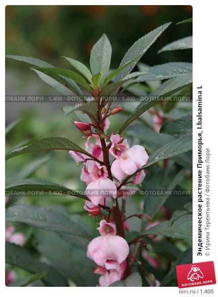 Эндемическое растение Приморья, I.balsamina L, эксклюзивное фото № 1400, снято 18 сентября 2005 г. (c) Ирина Терентьева / Фотобанк Лори