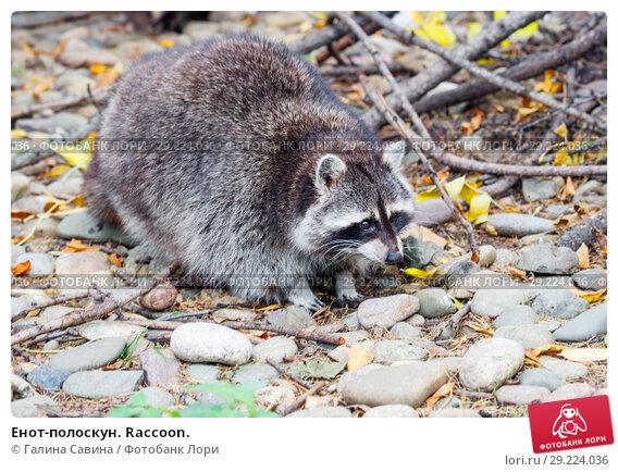 Купить «Енот-полоскун. Raccoon.», фото № 29224036, снято 28 марта 2018 г. (c) Галина Савина / Фотобанк Лори