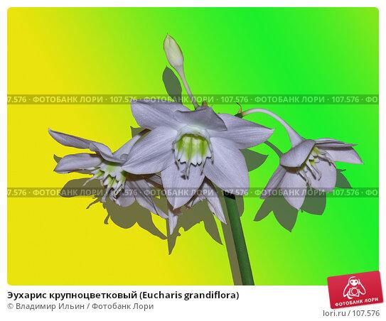 Эухарис крупноцветковый (Eucharis grandiflora), фото № 107576, снято 8 октября 2007 г. (c) Владимир Ильин / Фотобанк Лори