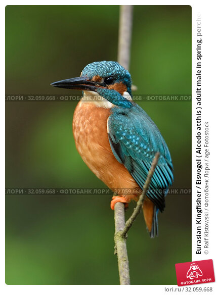 Eurasian Kingfisher / Eisvogel ( Alcedo atthis ) adult male in spring, perched on a branch, nice vernal background, side view, wildlife, Europe. Стоковое фото, фотограф Ralf Kistowski / age Fotostock / Фотобанк Лори