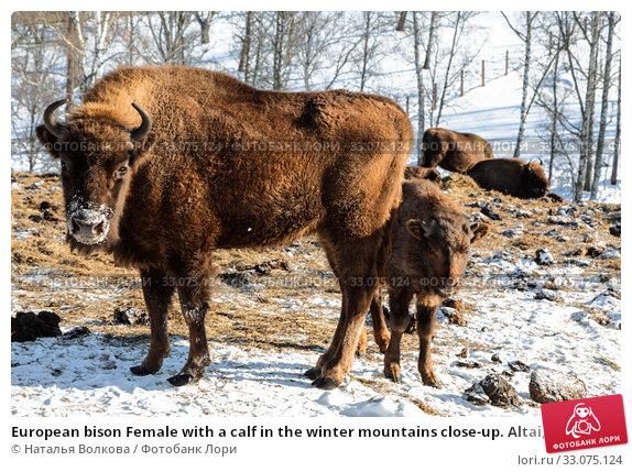 Купить «European bison Female with a calf in the winter mountains close-up. Altai, Russia», фото № 33075124, снято 30 января 2020 г. (c) Наталья Волкова / Фотобанк Лори