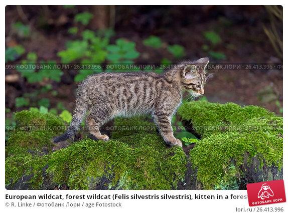 Купить «European wildcat, forest wildcat (Felis silvestris silvestris), kitten in a forest on a tree snag, Germany», фото № 26413996, снято 4 июня 2016 г. (c) age Fotostock / Фотобанк Лори