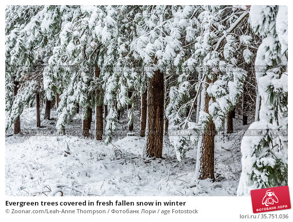 Evergreen trees covered in fresh fallen snow in winter. Стоковое фото, фотограф Zoonar.com/Leah-Anne Thompson / age Fotostock / Фотобанк Лори