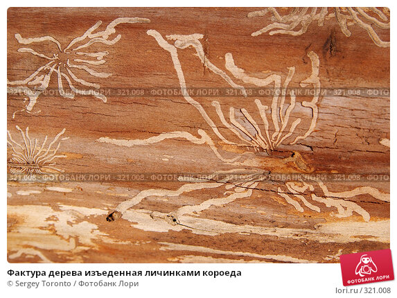 Фактура дерева изъеденная личинками короеда, фото № 321008, снято 30 марта 2008 г. (c) Sergey Toronto / Фотобанк Лори