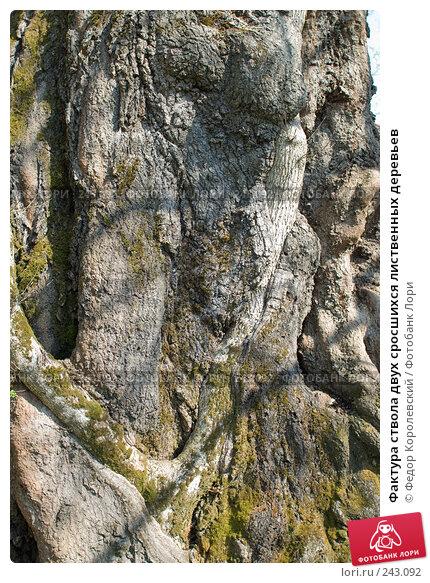 Купить «Фактура ствола двух сросшихся лиственных деревьев», фото № 243092, снято 4 апреля 2008 г. (c) Федор Королевский / Фотобанк Лори