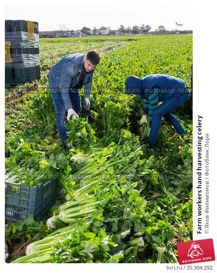 Farm workers hand harvesting celery. Стоковое фото, фотограф Яков Филимонов / Фотобанк Лори