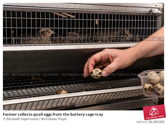 Farmer collects quail eggs from the battery cage tray. Стоковое фото, фотограф Евгений Харитонов / Фотобанк Лори