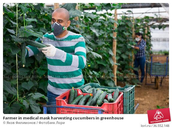 Farmer in medical mask harvesting cucumbers in greenhouse. Стоковое фото, фотограф Яков Филимонов / Фотобанк Лори