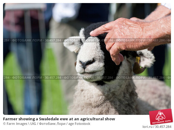 Farmer showing a Swaledale ewe at an agricultural show. Стоковое фото, фотограф Farm Images \ UIG / age Fotostock / Фотобанк Лори