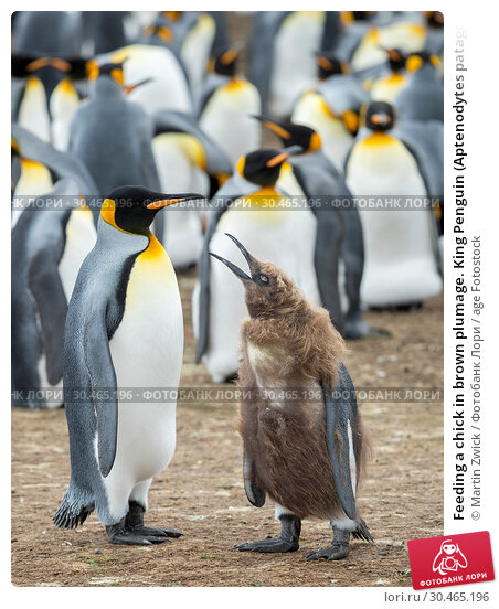 Feeding a chick in brown plumage. King Penguin (Aptenodytes patagonicus) on the Falkland Islands in the South Atlantic. South America, Falkland Islands, January. Стоковое фото, фотограф Martin Zwick / age Fotostock / Фотобанк Лори