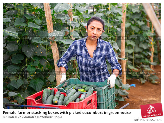Female farmer stacking boxes with picked cucumbers in greenhouse. Стоковое фото, фотограф Яков Филимонов / Фотобанк Лори