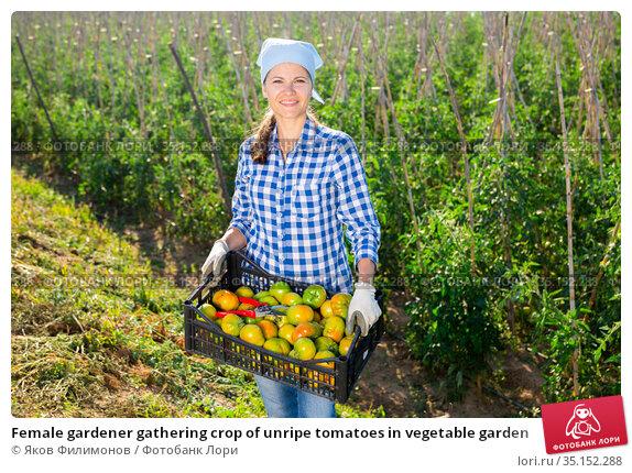 Female gardener gathering crop of unripe tomatoes in vegetable garden. Стоковое фото, фотограф Яков Филимонов / Фотобанк Лори