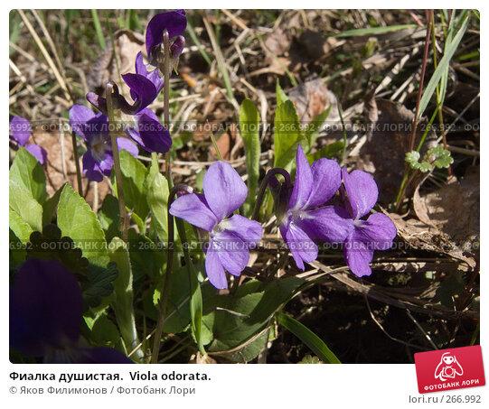 Фиалка душистая.  Viola odorata., фото № 266992, снято 26 апреля 2008 г. (c) Яков Филимонов / Фотобанк Лори