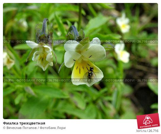 Фиалка трехцветная, фото № 26716, снято 10 июля 2004 г. (c) Вячеслав Потапов / Фотобанк Лори