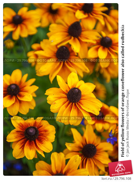 Купить «Field of yellow flowers of orange coneflower also called rudbeckia», фото № 29796108, снято 16 сентября 2018 г. (c) Jan Jack Russo Media / Фотобанк Лори