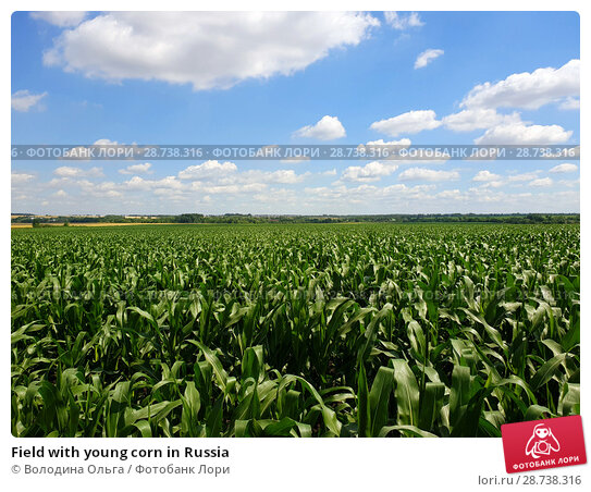 Купить «Field with young corn in Russia», фото № 28738316, снято 10 июля 2018 г. (c) Володина Ольга / Фотобанк Лори