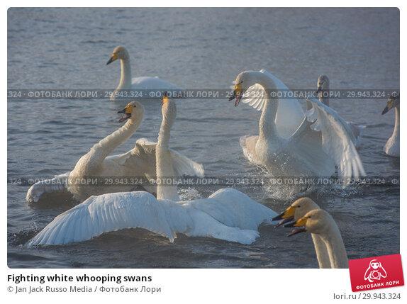 Купить «Fighting white whooping swans», фото № 29943324, снято 2 декабря 2018 г. (c) Jan Jack Russo Media / Фотобанк Лори