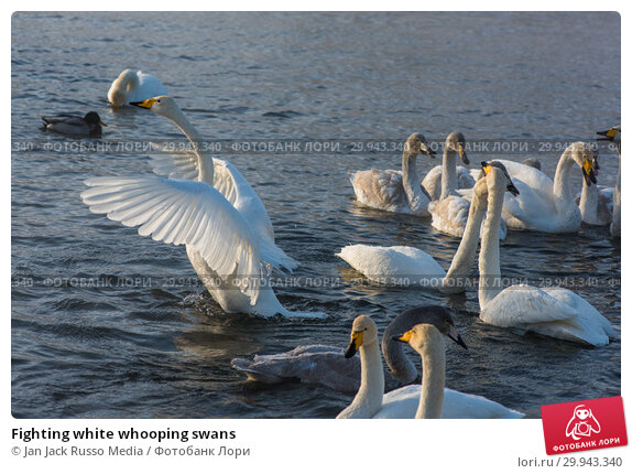 Купить «Fighting white whooping swans», фото № 29943340, снято 2 декабря 2018 г. (c) Jan Jack Russo Media / Фотобанк Лори