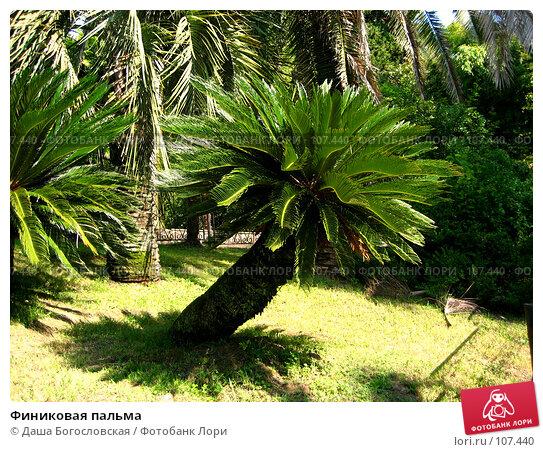 Купить «Финиковая пальма», фото № 107440, снято 26 сентября 2007 г. (c) Даша Богословская / Фотобанк Лори
