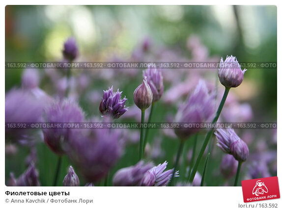 Фиолетовые цветы, фото № 163592, снято 3 июня 2006 г. (c) Anna Kavchik / Фотобанк Лори