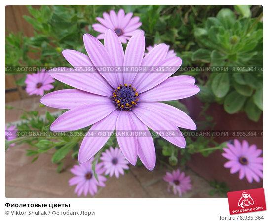 Фиолетовые цветы. Стоковое фото, фотограф Viktor Shuliak / Фотобанк Лори