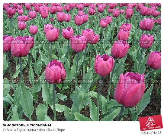 Фиолетовые тюльпаны, фото № 4428, снято 21 мая 2006 г. (c) Агата Терентьева / Фотобанк Лори