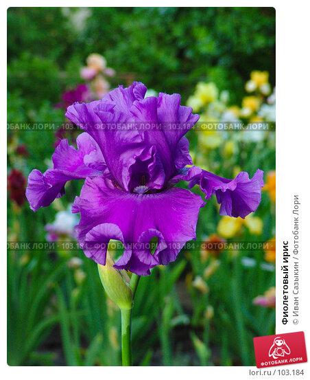 Фиолетовый ирис, фото № 103184, снято 28 октября 2016 г. (c) Иван Сазыкин / Фотобанк Лори